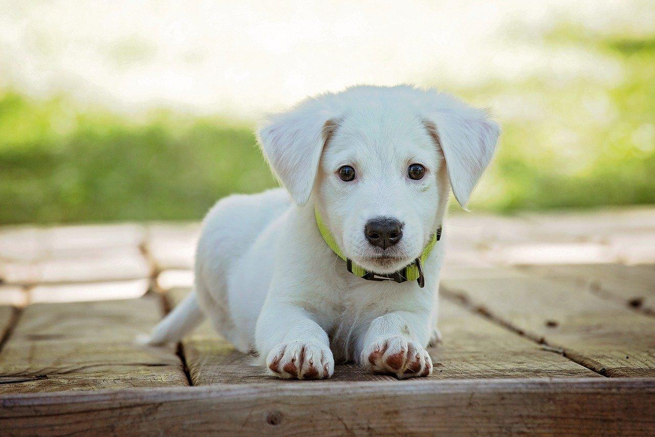 Drømmer du om at få hund? Så skal du være opmærksom på dette!